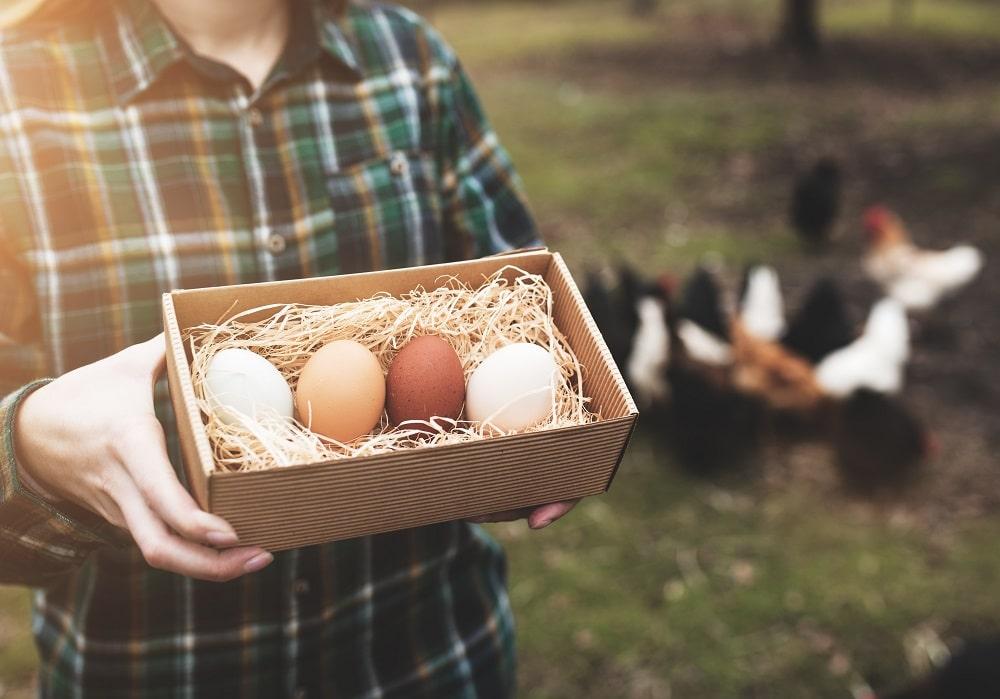 Chickenomics: The Economics Of Backyard Chickens